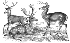 Vintage engraving of several deer.