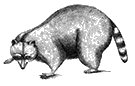 Vintage engraving of a raccoon.
