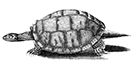 Vintage engraving of a tortoise walking.
