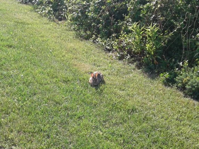 Photo of rabbit in grass.